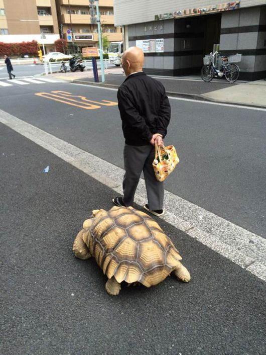 Patient Pet Owner Walks His Giant Tortoise