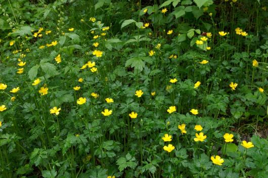 The Beautiful Buttercup Flowers