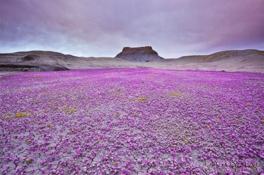 Utah Deserts Explode With Colourful Flowers