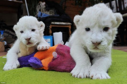 Cute Snow White Cubs