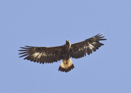 The Golden Eagle Photography