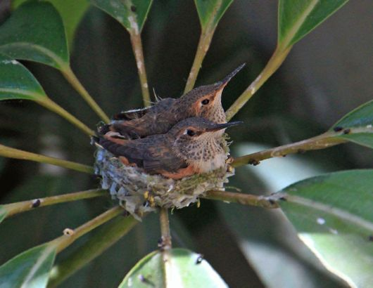 The Hatching Hummingbirds