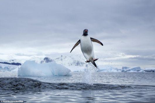 Playful Penguins In Antarctica