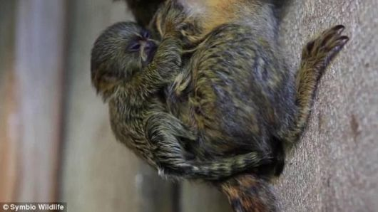 Meet The Worlds Smallest Monkey